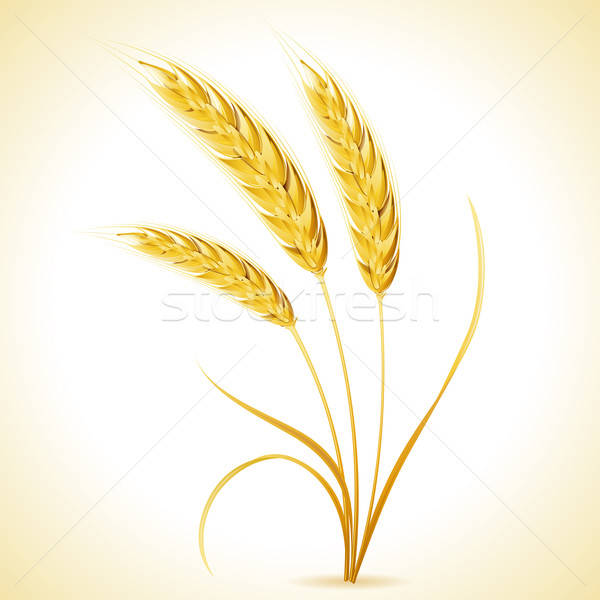 Ears of Barley Stock photo © -TAlex-