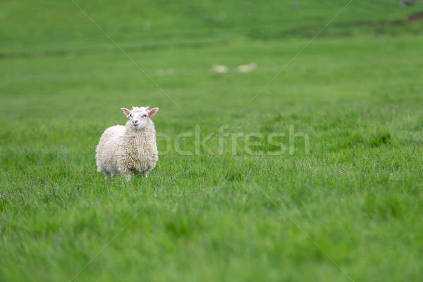sheep grazing on a green pasture Stock photo © 1Tomm