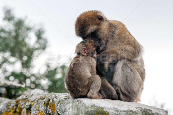 mother macaque shelters baby Stock photo © 1Tomm