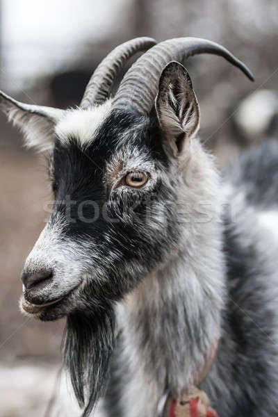 goat Stock photo © 26kot
