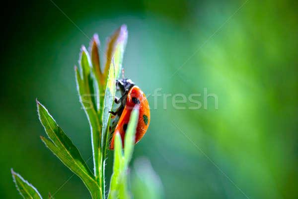 Katicabogár piros katicabogár zöld tavasz fű Stock fotó © 26kot