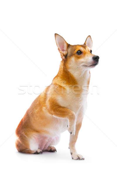 Cão isolado branco natureza fundo laranja Foto stock © 26kot