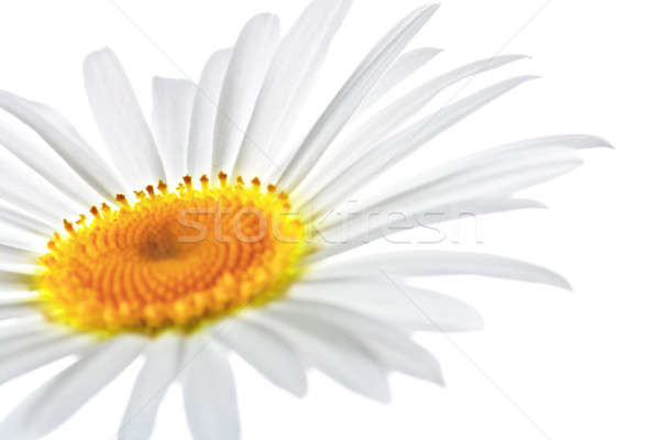 chamomile Stock photo © 26kot