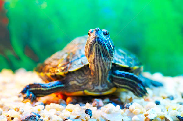 slider turtle Stock photo © 26kot