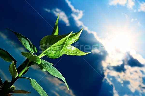 Zöld hajtás kék ég nap szépség felhő Stock fotó © 26kot