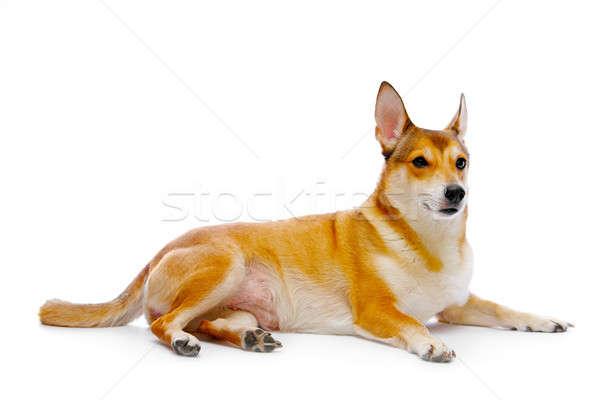 Perro aislado blanco estudio cachorro espera Foto stock © 26kot