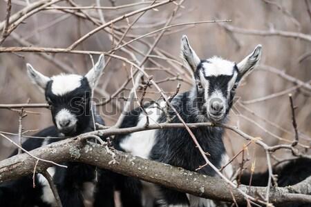 Kecske gyerek néhány fiatal kecskék horzsolás Stock fotó © 26kot