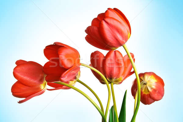 Tulpen Blauw natuur blad achtergrond schoonheid Stockfoto © 26kot