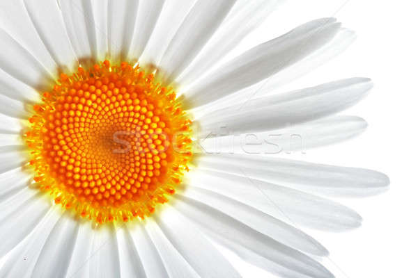 ромашка белый цветок цветы фон красоту Сток-фото © 26kot