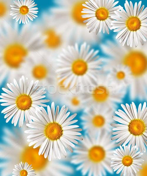 Rumianek kwiat kwiaty liści tle piękna Zdjęcia stock © 26kot