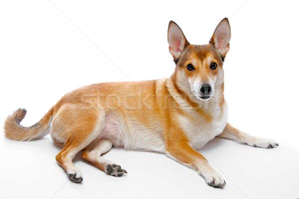 Perro aislado blanco pelo animales estudio Foto stock © 26kot