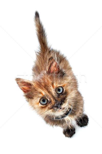猫 美しい キティ 青 眼 孤立した ストックフォト © 26kot