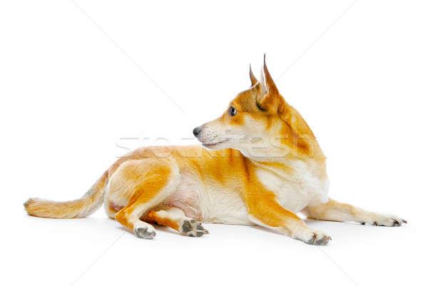 Perro aislado blanco naranja animales estudio Foto stock © 26kot