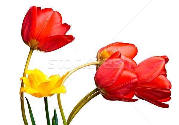 Primavera tulipani isolato bianco natura sfondo Foto d'archivio © 26kot