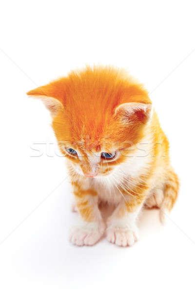 ストックフォト: 子猫 · 孤立した · 白 · 髪 · 背景 · 美
