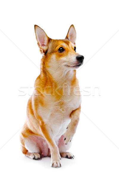 Photo stock: Chien · isolé · blanche · studio · chiot · animal