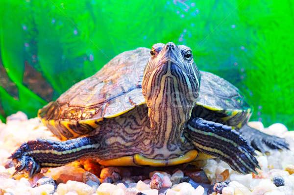 slider turtle Stock photo © 26kot