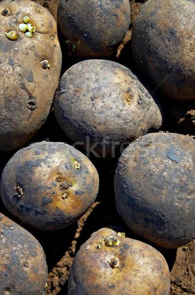 potatoes Stock photo © 26kot
