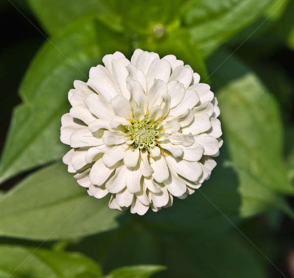 Stock photo: White Zinnia and Green Leaves