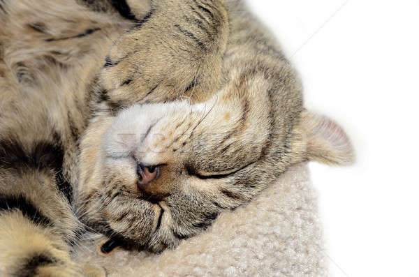 Highland Lynx Cat Asleep Stock photo © 2tun