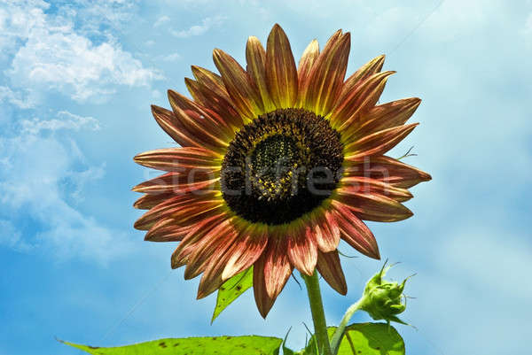 Beautiful Sunflower Stock photo © 2tun