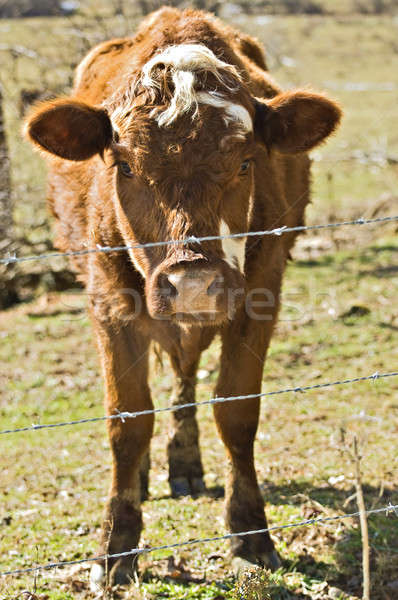 Stock photo: Cow in a Pasture