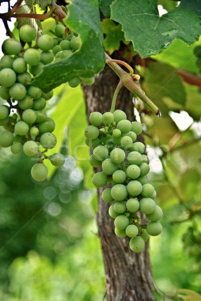 Grapes on the Vine Stock photo © 2tun