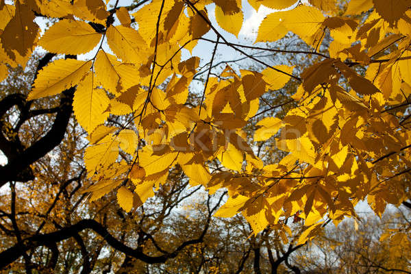 秋 葉 セントラル·パーク ニューヨーク 紅葉 ニューヨーク市 ストックフォト © 33ft