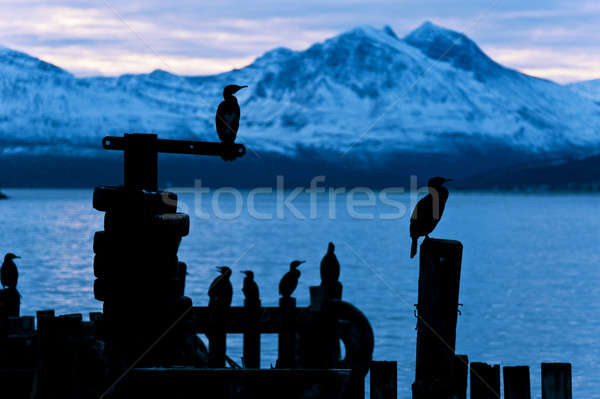 Cormoran bird sits on a pier in winter in a Fjord in Norway Stock photo © 3523studio