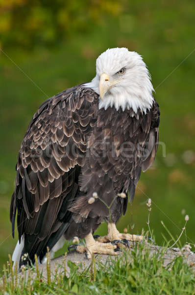 Stock photo: bald eagle in sitting position