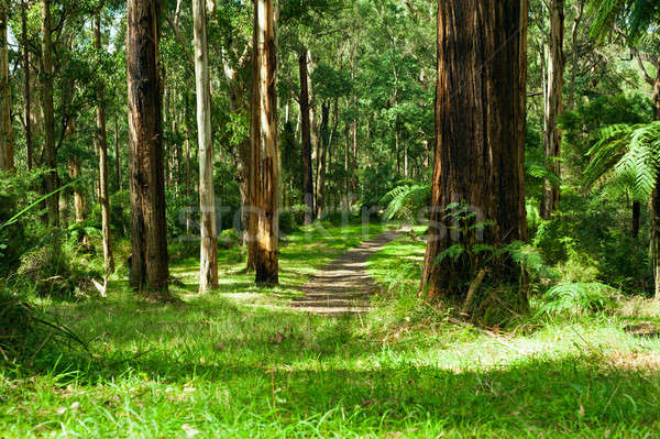 Forest, Dandenong Ranges National Park, Yarra Valley Stock photo © 3523studio