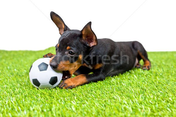 Young puppy, lies down with football Stock photo © 3523studio