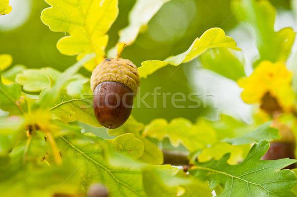 Fruit of an Oak tree ripe in autumn Stock photo © 3523studio