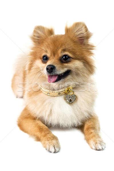 The cute Pomeranian dog over white Stock photo © 3523studio