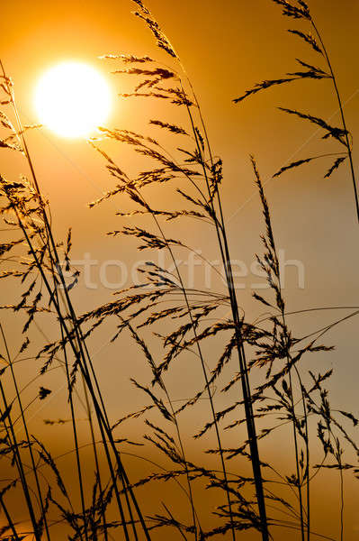 Backlit grass by the sun during a beautiful sunset Stock photo © 3523studio
