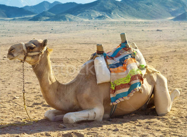 Stock photo: Camel