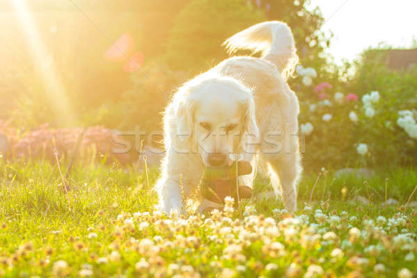 Köpek golden retriever yeşil ot sıcak Stok fotoğraf © 3pphoto31