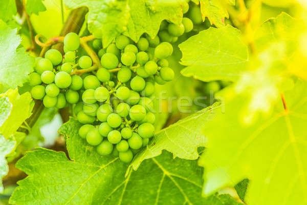 şarap yeşil atış yaz sıcak Stok fotoğraf © 3pphoto31