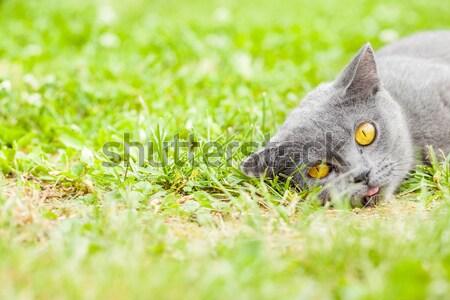 Jeunes gris chaton jardin fraîches herbe verte Photo stock © 3pphoto31