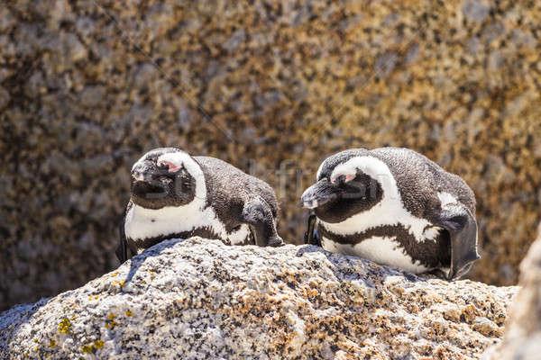 Pinguino selvatico natura bellezza rock uccelli Foto d'archivio © 3pphoto31
