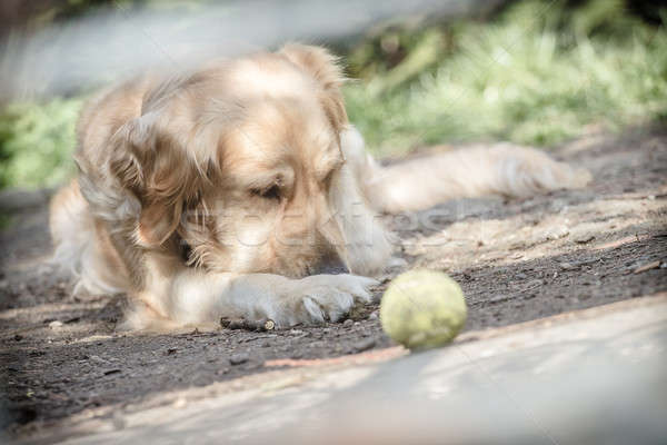 Triste retriever solitaria golden retriever pet cane Foto d'archivio © 3pphoto31