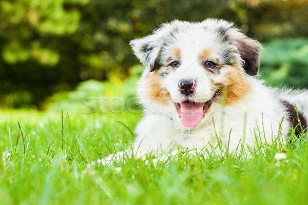 Puppy jonge vers groen gras openbare park Stockfoto © 3pphoto31