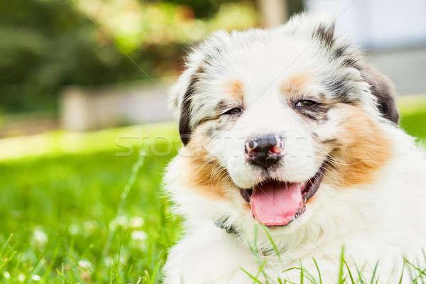 Kutyakölyök fiatal friss zöld fű nyilvános park Stock fotó © 3pphoto31
