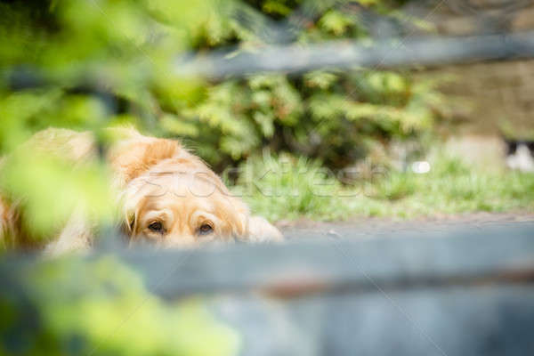 Stockfoto: Triest · retriever · eenzaam · golden · retriever · huisdier · hond