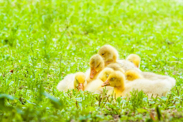 Duckling Stock photo © 3pphoto31