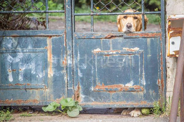 печально ретривер одиноко Золотистый ретривер ПЭТ собака Сток-фото © 3pphoto31