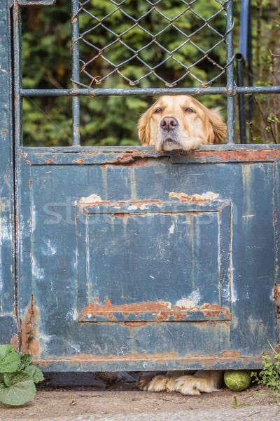 üzücü av köpeği yalnız golden retriever evcil hayvan köpek Stok fotoğraf © 3pphoto31