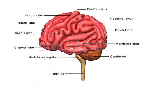 мозг центр нервная система позвоночный Сток-фото © 7activestudio
