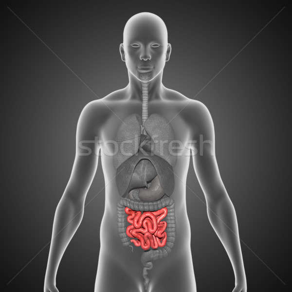 Small intestine Stock photo © 7activestudio