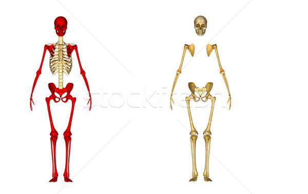 Squelette structure corps vie peuvent à l'intérieur Photo stock © 7activestudio